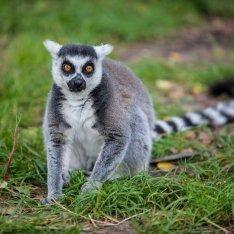 Lemur z ZOO hotelu Doliny Charlotty