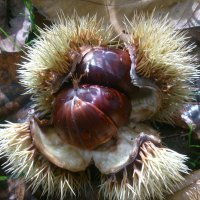 Season of chestnuts started!