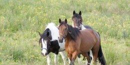 """Trohaniec"" Hucul horse farm - Lutowiska"