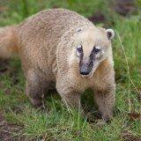 Ostronos rudy (koati)