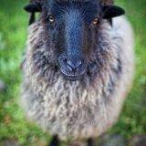 Owca wrzosówka