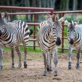 Zebra równikowa