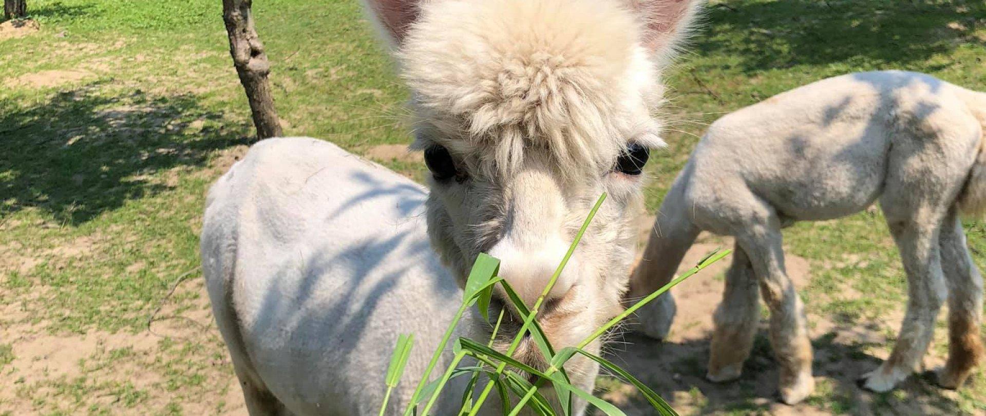 Alpakówka - Hodowla alpak nad Wisłą