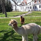 Przyjacielskie Alpaki