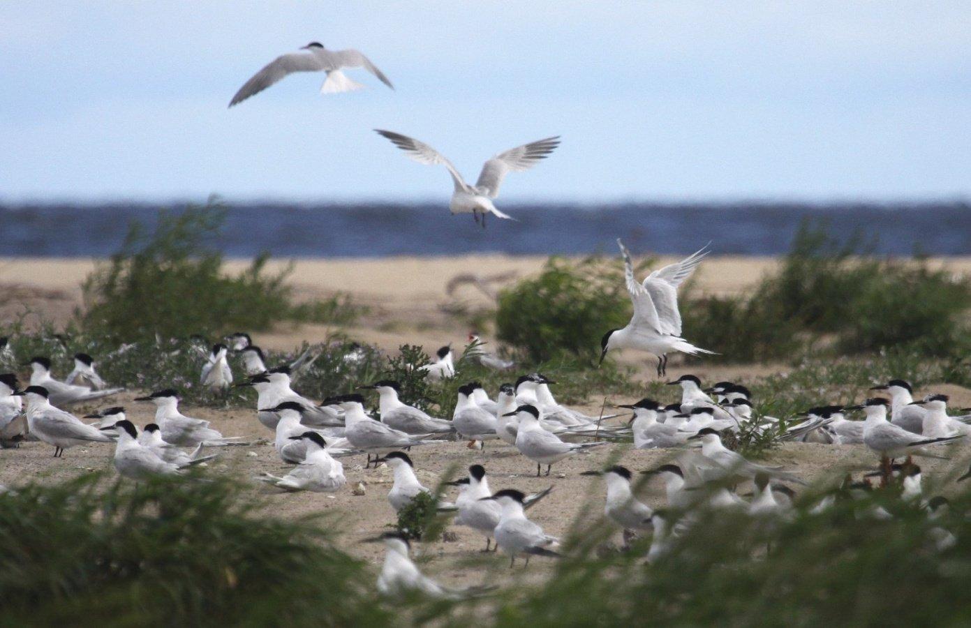 Birdwatching/Kolonialgowarybitwczubatych2014-06-24AndrzejKomicki.jpg